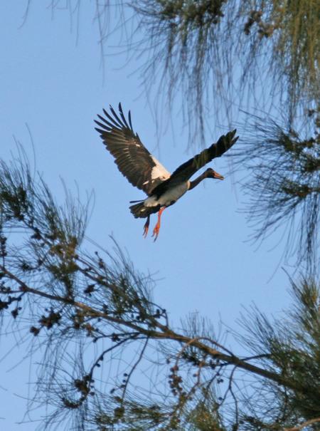 Magpie_goose_in_tree