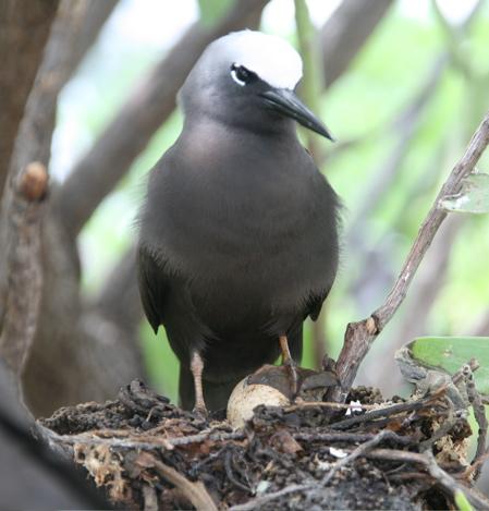 Nesting_noddy